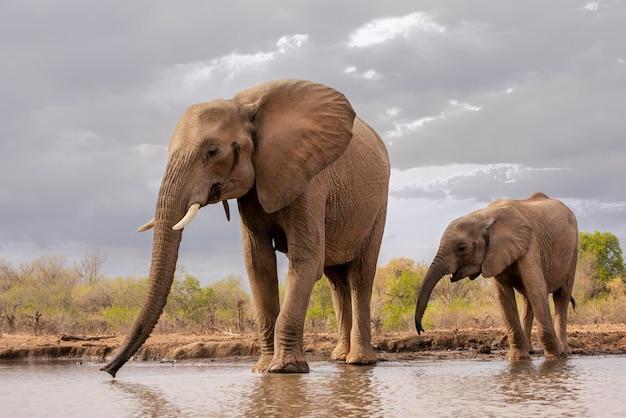 アフリカ、ボツワナの滝壺で飲む母親と若い子象 Premium写真