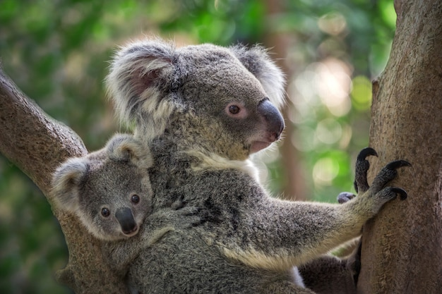 Mother and baby koala on a tree in natural atmosphere. Premium Photo