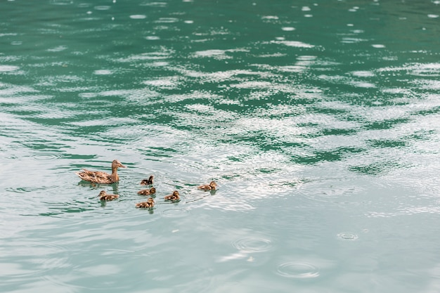 Mother duck swimming with ducklings on pond Free Photo