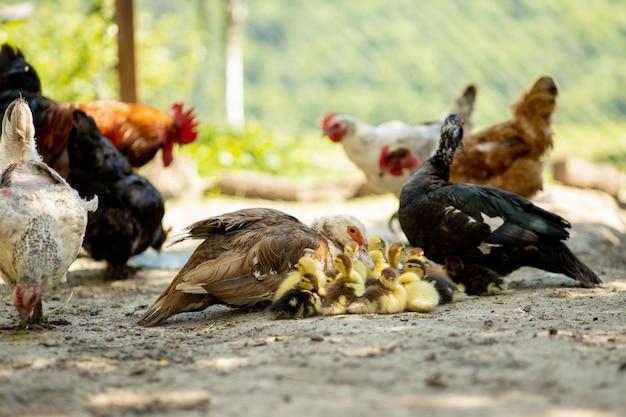 Мать утка с утятами. за матерью идет много утят. Premium Фотографии