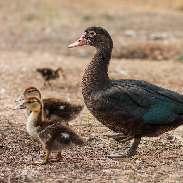Mother duck with her little buds Free Photo