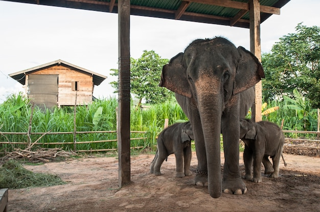 Mother elephant and calf in the elephant village, surin, thailand Premium Photo
