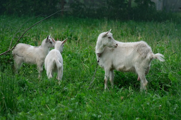 Mother goat and her babys in the village Premium Photo