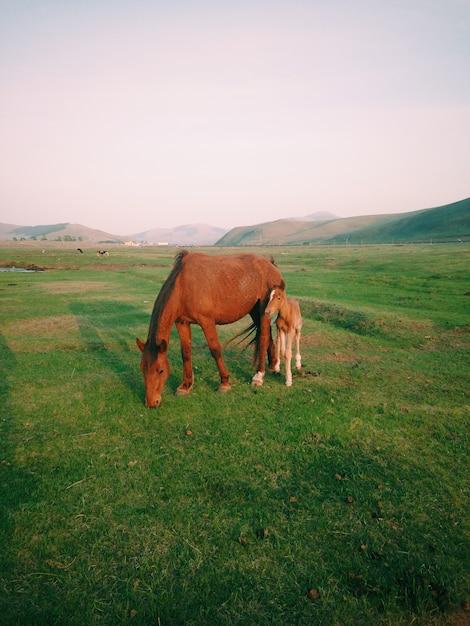 昼間に牧草地で放牧している赤ちゃん馬と母馬 無料写真