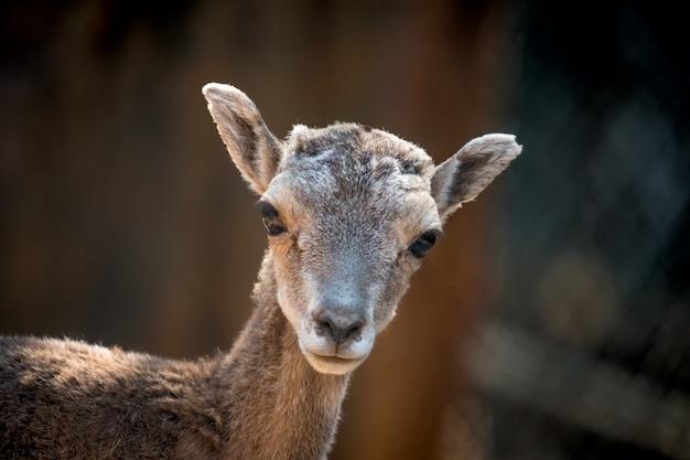 Mouflon eweの肖像 Premium写真