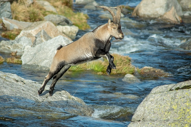 Mountain goat jumping a stream in the mountain Premium Photo