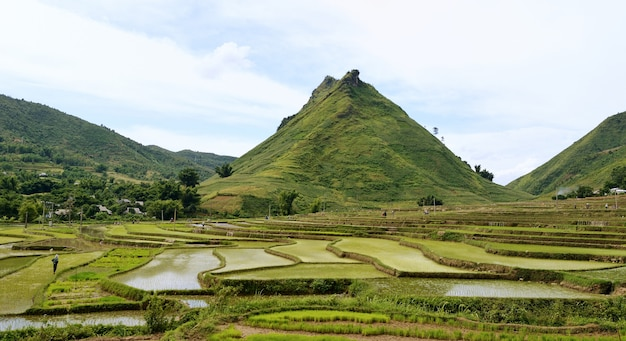 Mountain rice in vietnam Premium Photo