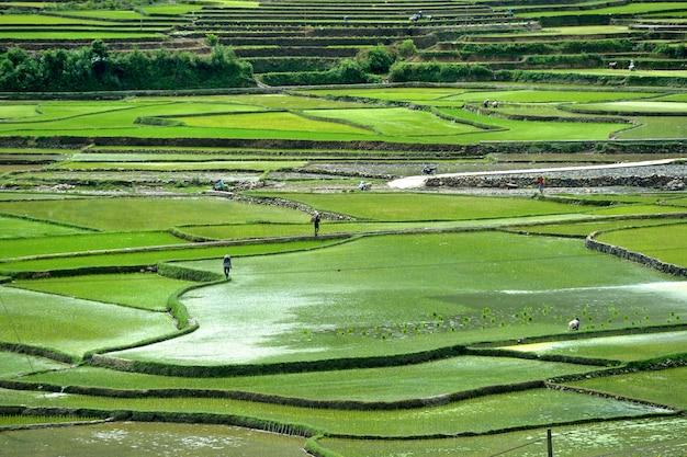 Mountain rice in vietnam Premium Photo