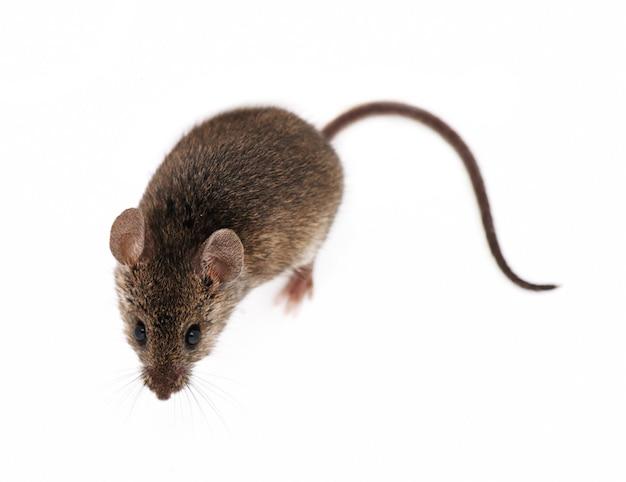 Mouse isolated on white background Premium Photo