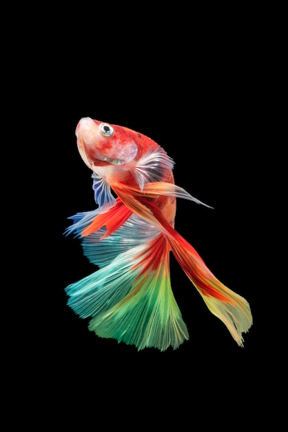 Movement of betta fish, siamese fighting fish, betta splendens isolated on black Premium Photo