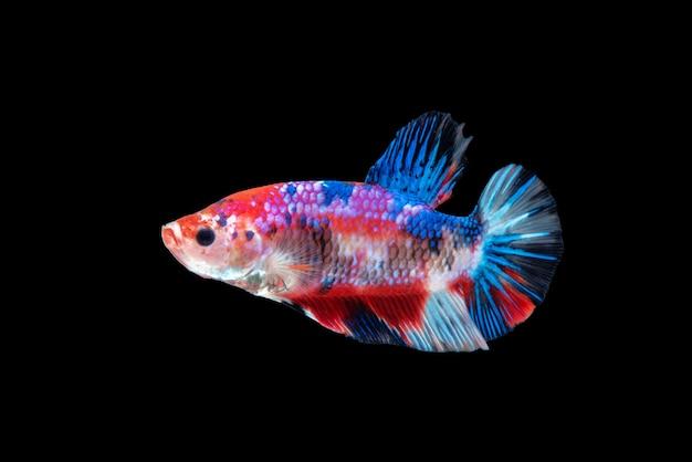 Movement of betta fish, siamese fighting fish Premium Photo