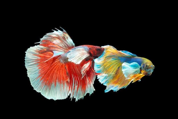 Movement of betta fishes on black Premium Photo