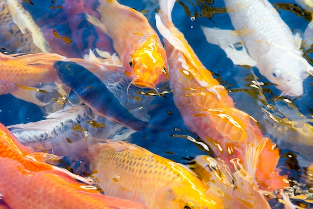 Koi pond vectors photos and psd files free download for Koi pond you can swim in