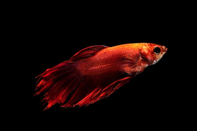 The moving moment of gradient red half moon siamese betta fish Free Photo