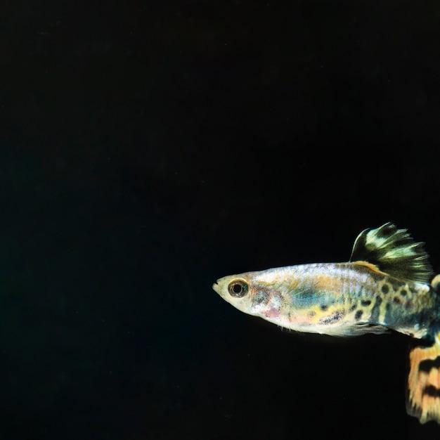 Il momento commovente del pesce betta siamese a mezzaluna con spazio di copia Foto Gratuite