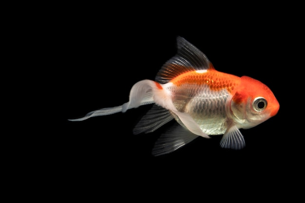 The moving moment of orange half moon siamese betta fish Free Photo