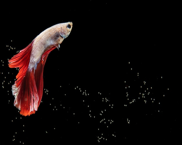 The moving moment of red and white half moon siamese betta fish Free Photo