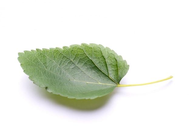 桑の葉の分離 Premium写真