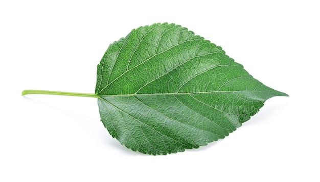 Листья шелковицы, изолированные на белом фоне Premium Фотографии