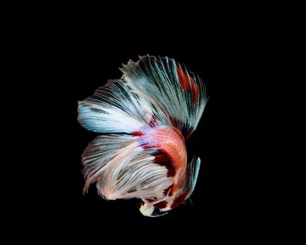 Multi-color betta fish, siamese fighting fish on black background Premium Photo