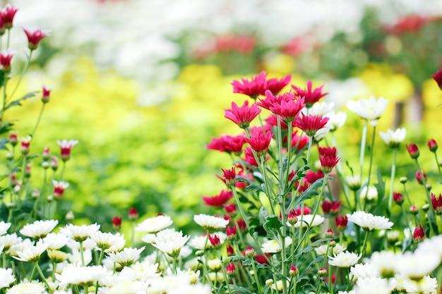 Multi color of chrysanthemum in the garden Premium Photo