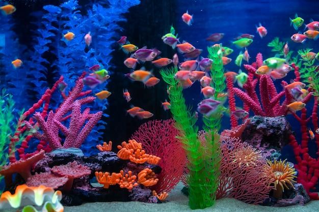 Multicolored small fish in the aquarium. fish called ternetia caramel or black tetra. Premium Photo