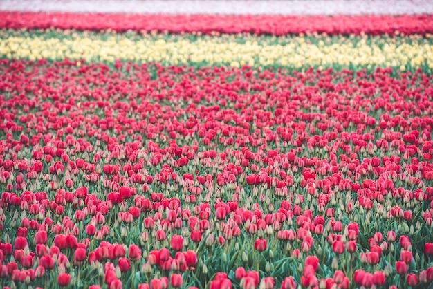 Multicolored tulips field in the netherlands Premium Photo