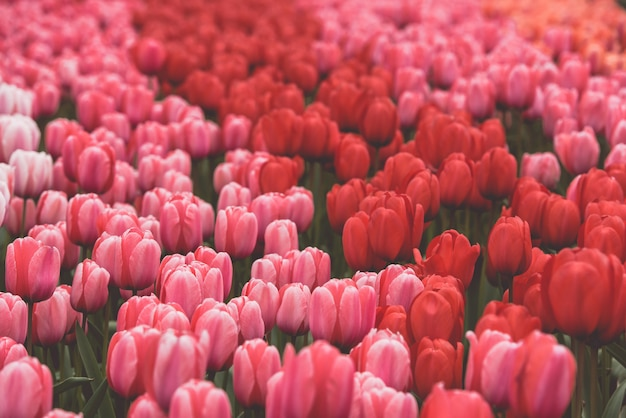 Multicolored tulips field in the netherlands Premium Photo