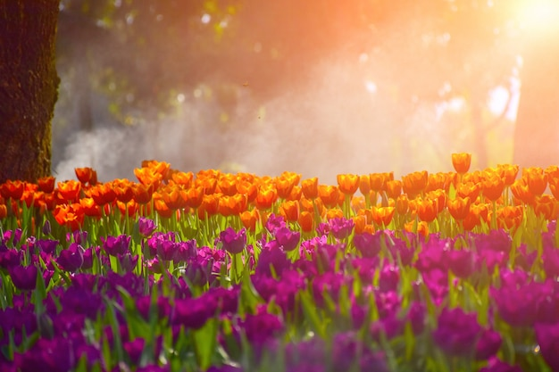 Multicolored tulips in the gardens of chiang rai, thailand. Premium Photo