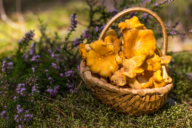 Mushrooms chanterelle in a wicker basket in a forest glade Premium Photo