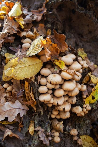 Mushrooms grow near a stump in forest. golden beautiful autumn. Premium Photo