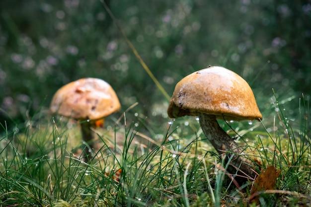 Funghi coltivati dopo la pioggia nel mezzo di una foresta Foto Gratuite