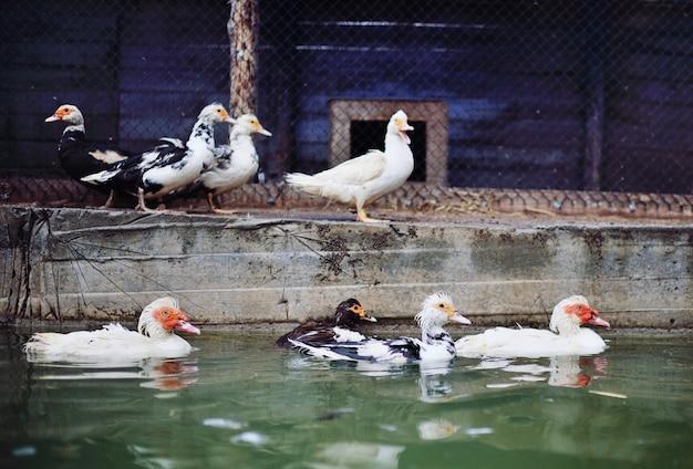 ムスクアヒルとガチョウはプールで散歩します Premium写真