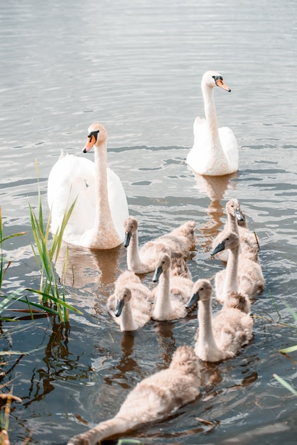 Mute swan family, adult with young, white swan, cygnus olor Premium Photo