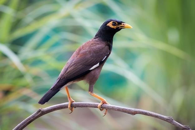 タイの共通のmyna bird。 Premium写真