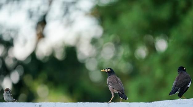 緑の背景に一般的なミーナの鳥(mynas) Premium写真