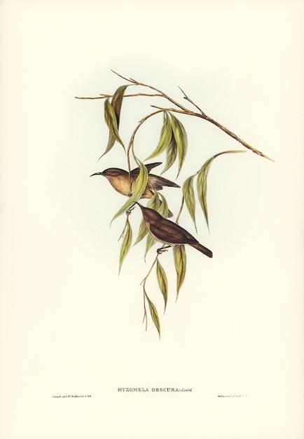 Непонятная людоедка (myzomela obscura), иллюстрированная элизабет гулд Бесплатные Фотографии