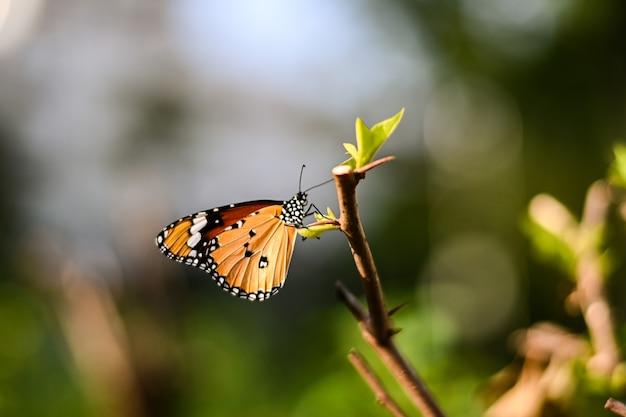 花nのクローズアップモナーク蝶ぼやけて黄色の日当たりの良い背景、テキストのスペースをコピーします。 Premium写真