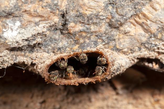 Nannotrigona testaceicornisiraiオオハリナシミツバチ Premium写真
