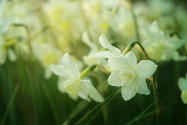 Narcissus flower. Premium Photo