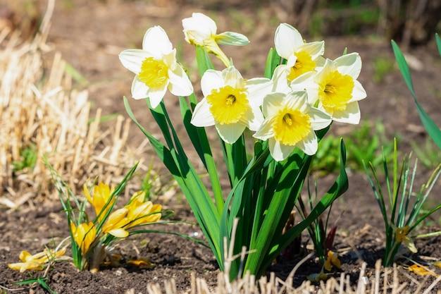白い水仙(narcissus poeticus) Premium写真