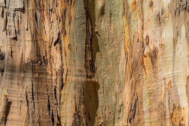 Sfondo naturale della corteccia di gumtree dell'eucalyptus. primo piano del tronco. tenerife, isole canarie Foto Gratuite