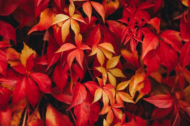 Natural background of red ivy parthenocissus quinquefolia in the autumn Premium Photo