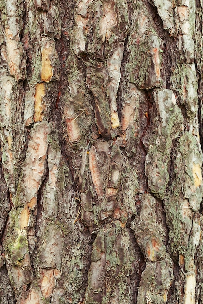 Natural  background texture of tree bark Premium Photo