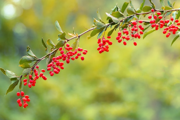 Natural background with branch of barberry. small sour red berries of barberry in nature. Premium Photo