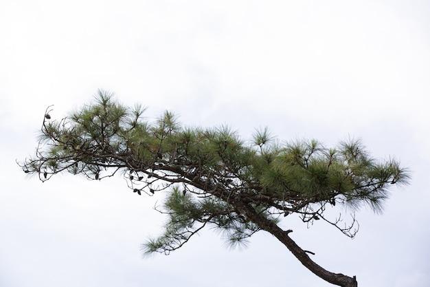 白い背景の上の自然な新鮮な松の木 無料写真
