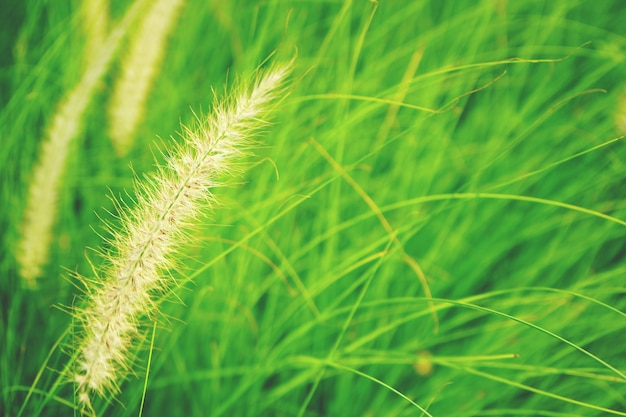 Natural fresh ruby grass abstract background close up Premium Photo