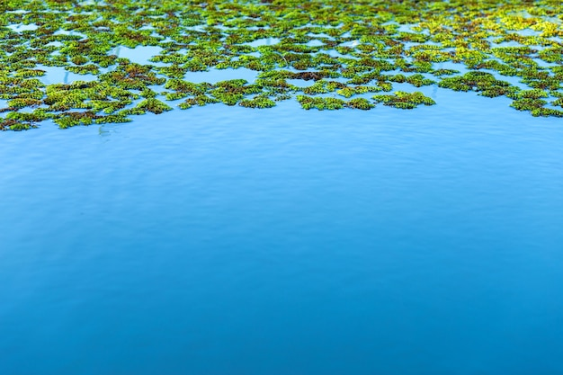 Природный зеленый фон азолла, москито папоротники на голубом небе отражение воды текстура. Premium Фотографии