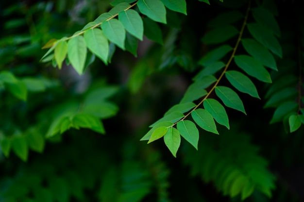 Natural green gooseberry leaves Premium Photo