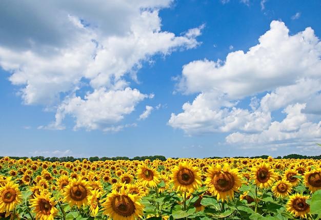 Paesaggio naturale del campo di girasoli in giornata di sole Foto Gratuite